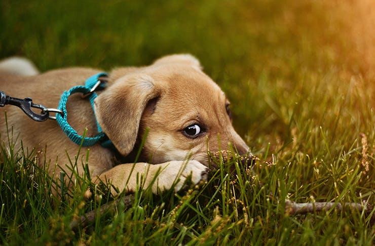 puppy-festival-brisbane, dog lovers show