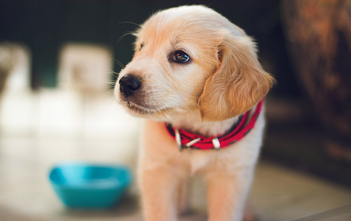 A puppy in a red collar looks off to the side in an achingly-cute manner.