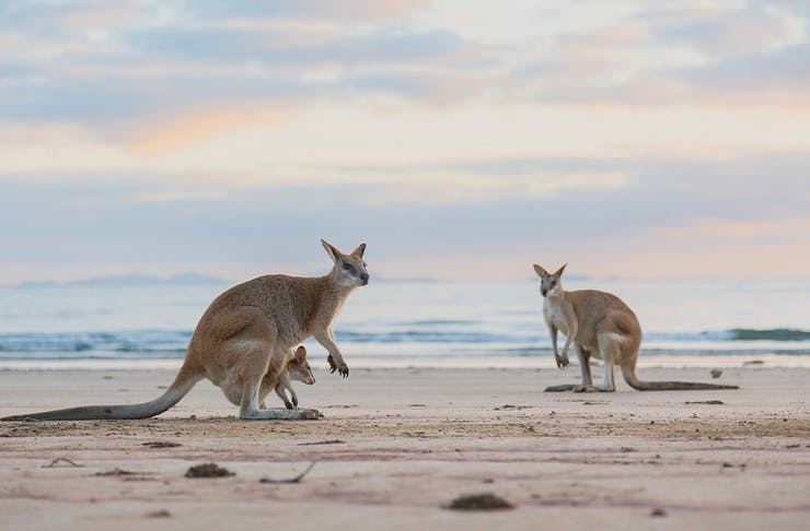 Two wallabies on a beach at sunset