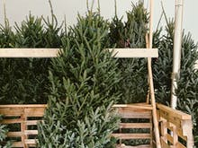 Untangle The Tinsel, Here's Where To Get A Real Christmas Tree In Brisbane