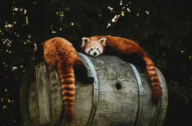 red-panda-encounters-melb-zoo