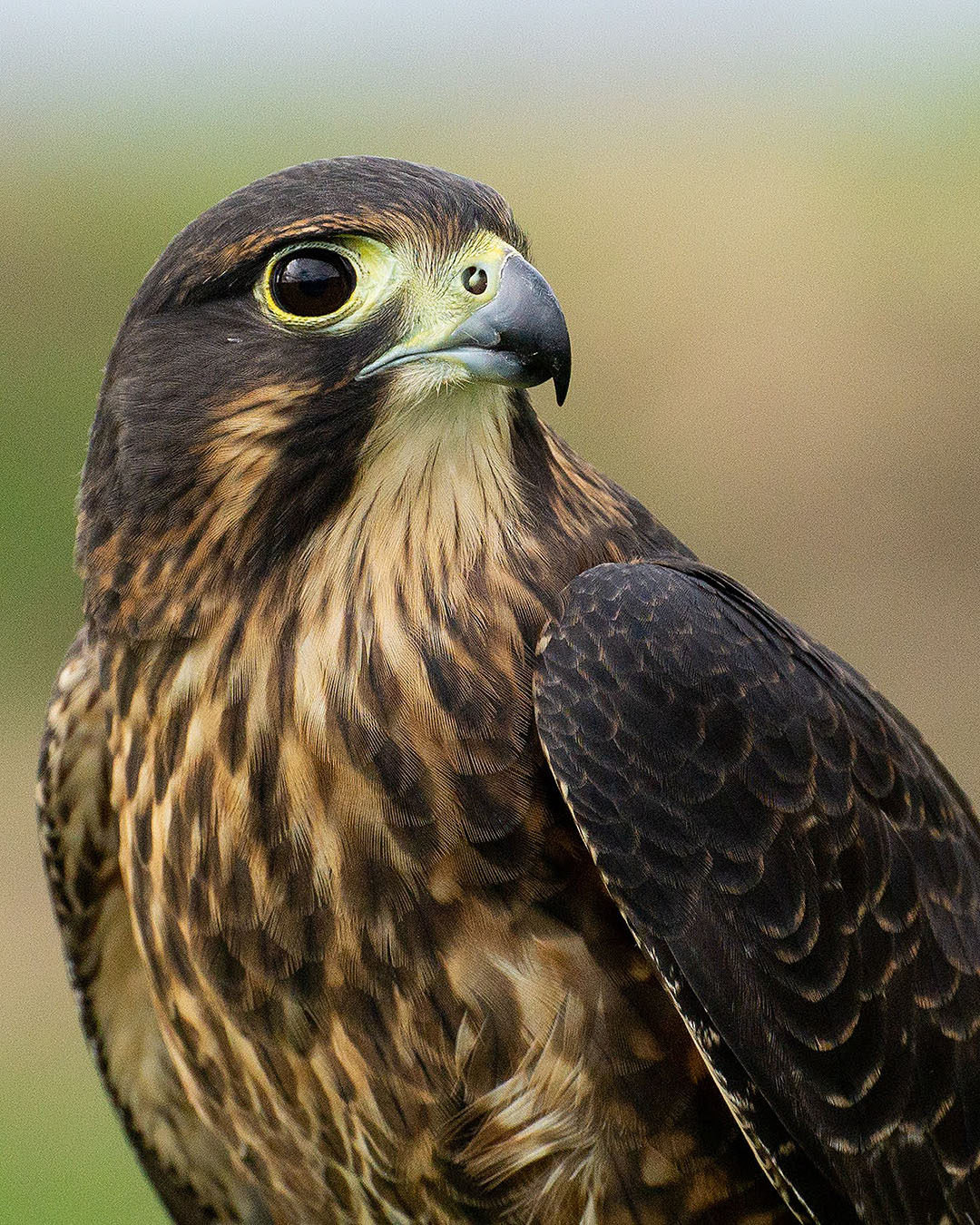 A stunning close up view of a New Zealand falcon.