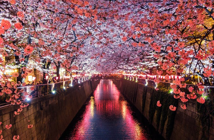 A canal lit up by vibrant pink lights and hugged by bright pink cherry blossoms in Matsuno Japan.