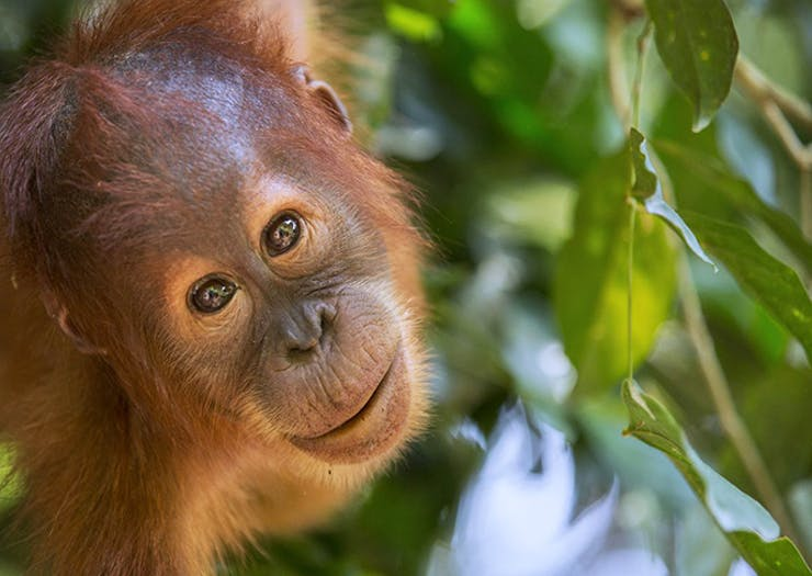 Here's How You Can Save The Orangutans One Soap Bar At A Time