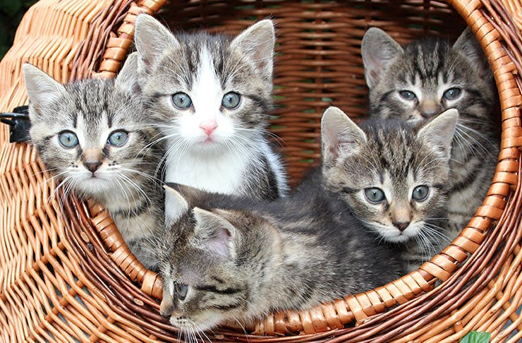 Love Kittens? The SPCA Needs YOU!