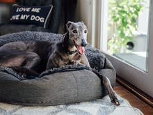 A Greyhound Party Is Coming To Perth This Weekend