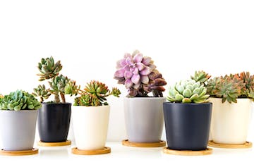 Where To Buy Succulents In Sydney