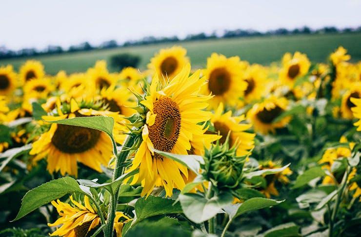 sunflower-fields-brisbane