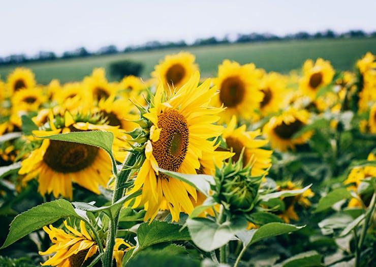 A Massive Sunflower Field Just Sprung Up Outside Brisbane