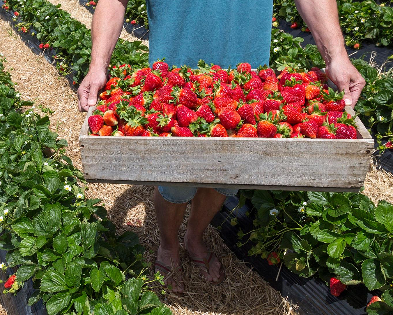 A man holds a heaping punnet of Sweet Red Strawberries