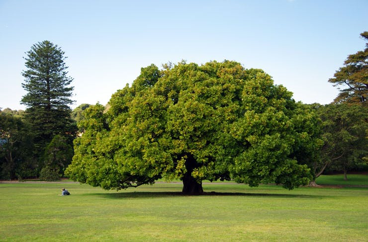 A picture of an enormous green tree in Sydney's beautiful Royal Botanic Garden.