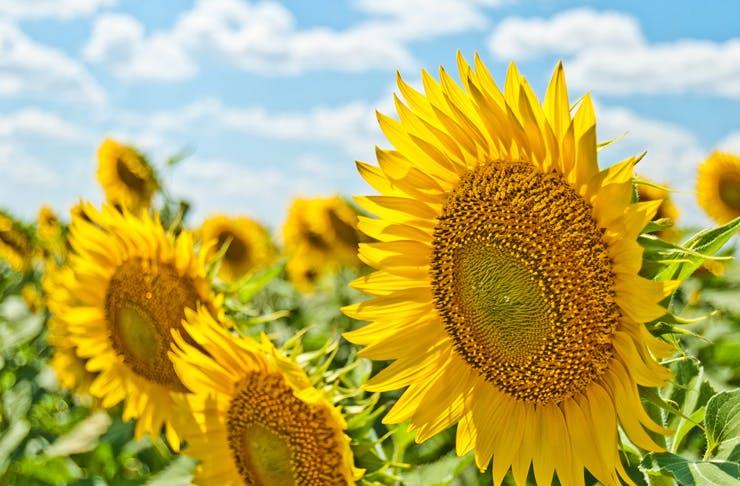 sydneys-sunflower-fields