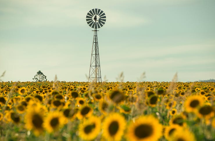 Windmill in a sunflower field