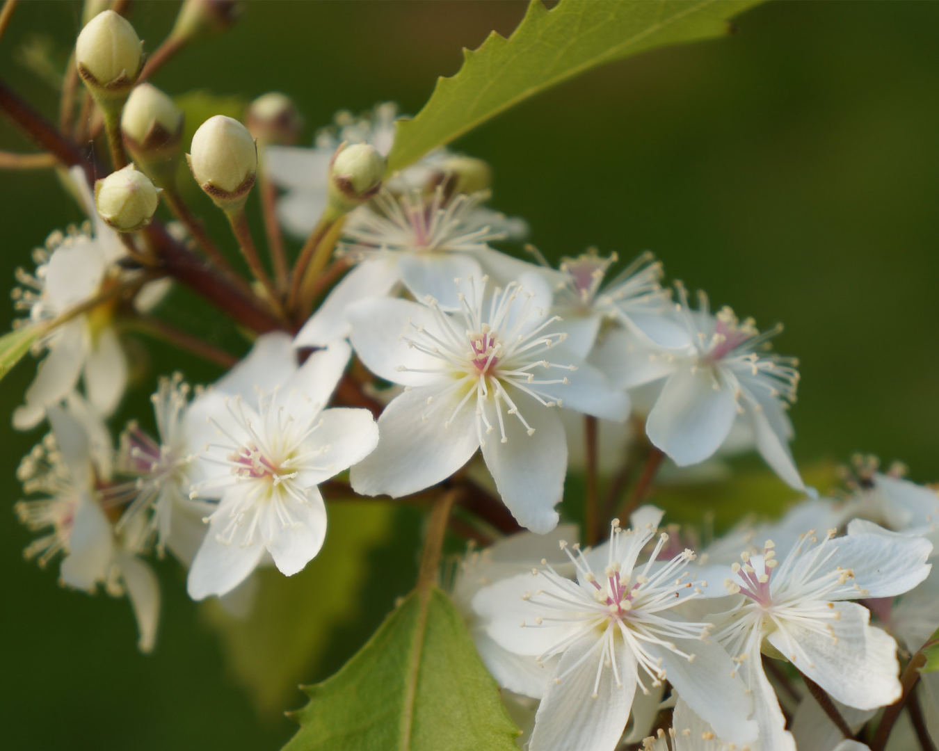 A close up of beautiful native flowers on a tree