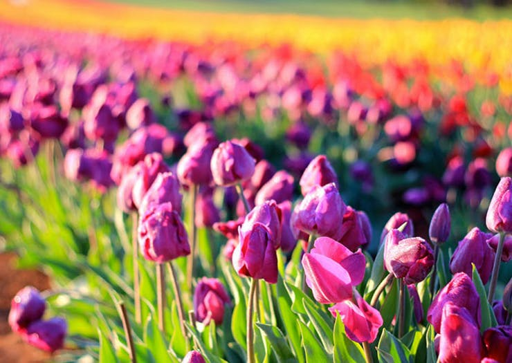 Melbourne's Massive Tulip Festival Is Back On This Week