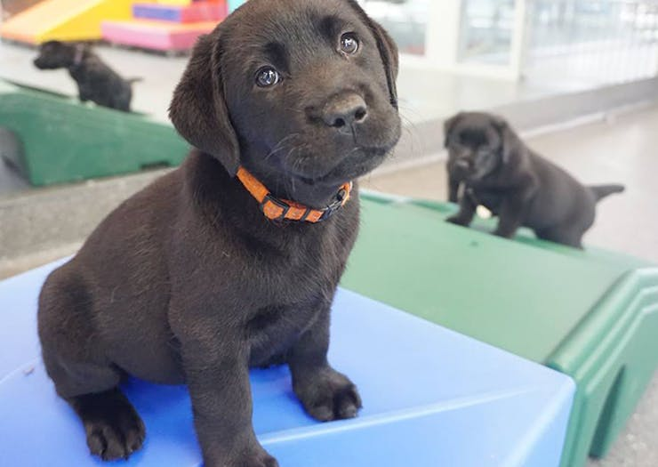 Seeing Eye Dogs Australia Is Looking For People To Take Care Of Their Puppies For A Year