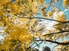 Grab Your Camera, Here Are The Top 5 Places To See Wattle On National Wattle Day