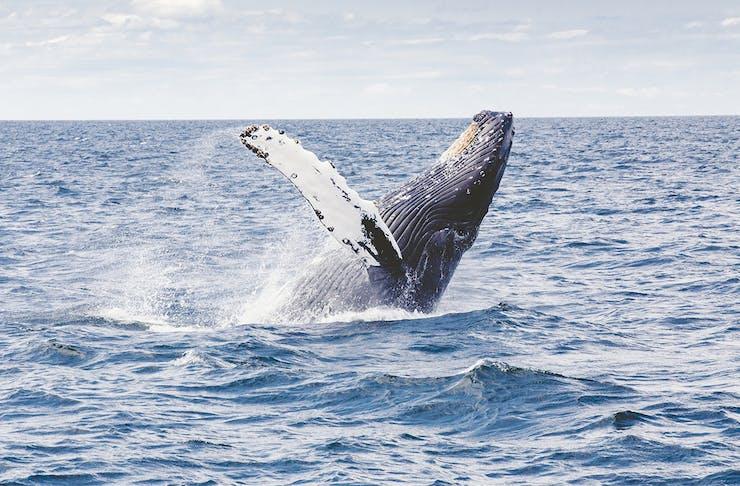 A humpback whale breaching in open ocean.