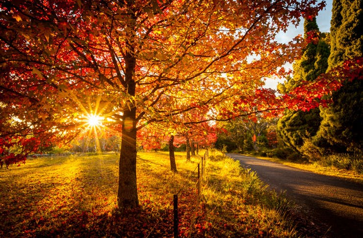 An autumn scene, featuring a tree with the sunset in the background.