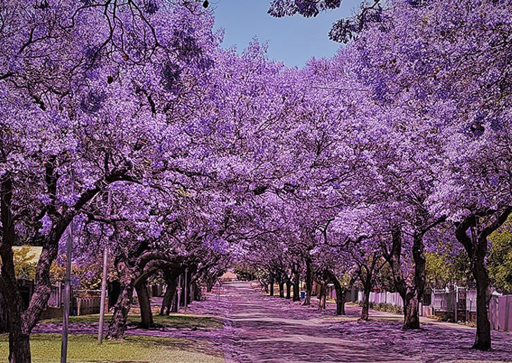 6 Of Perth's Most Beautiful Jacaranda Walks