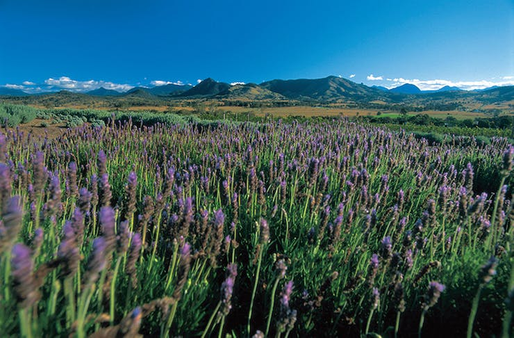 A stunning field of lavender.