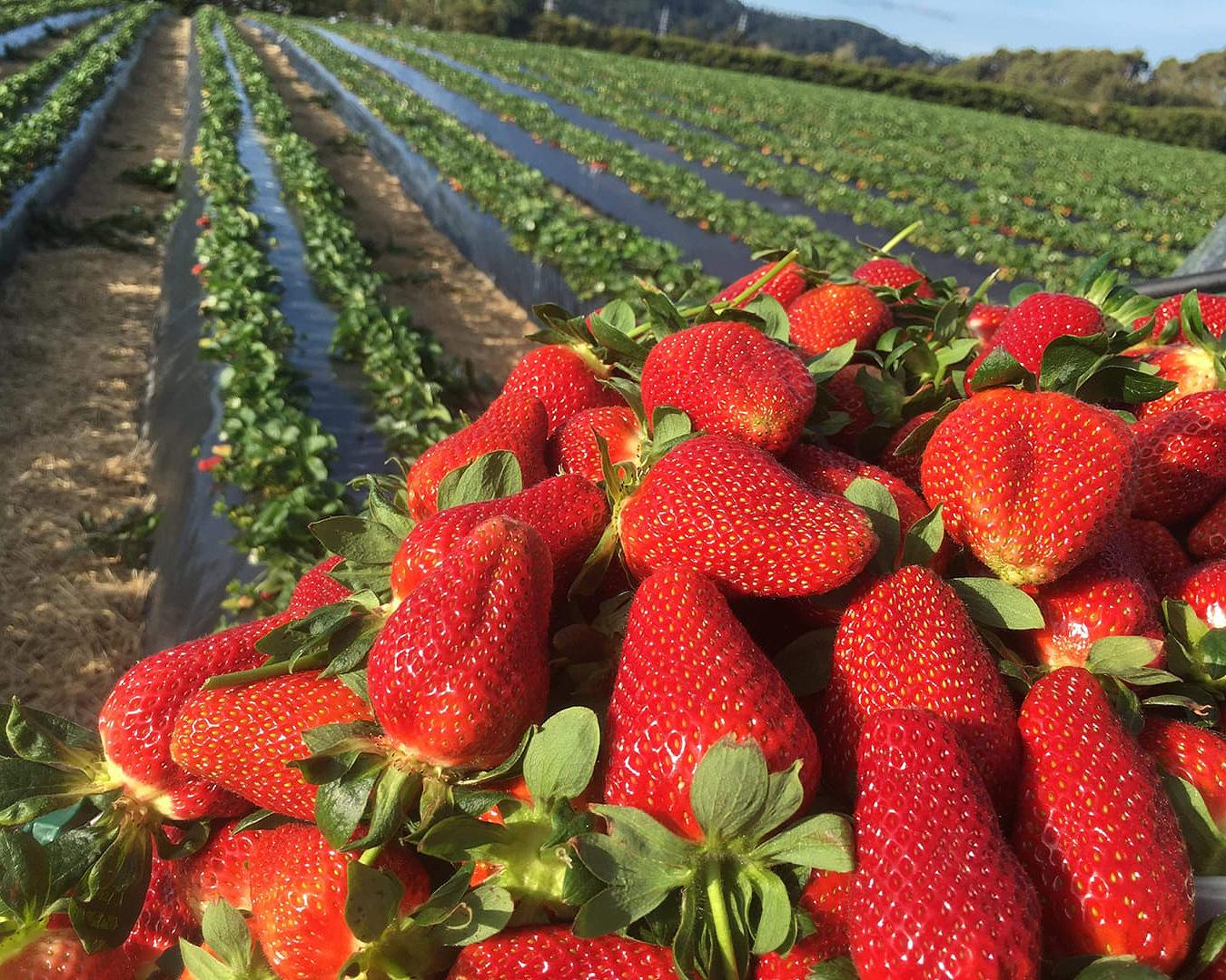 Heaping strawberries at Zaberri.