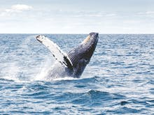 Where To Go Whale Watching In Perth