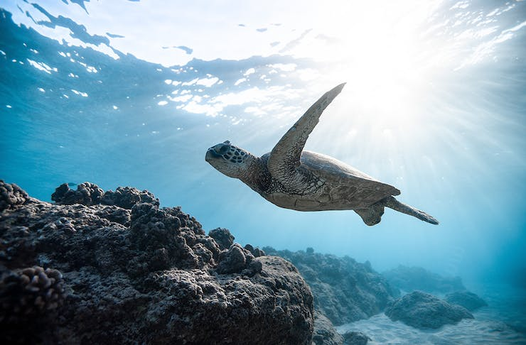 a turtle swims near a cluster of coral under the sea. The sun shines through from above.