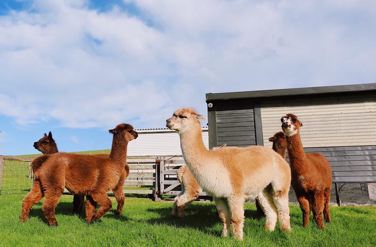 alpacas on farm