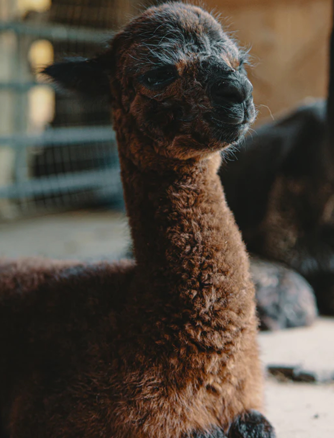 baby alpaca in shed