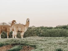 Step Up Your Adventuring With 5 Of The Best Alpaca Farms Worth Visiting In Australia