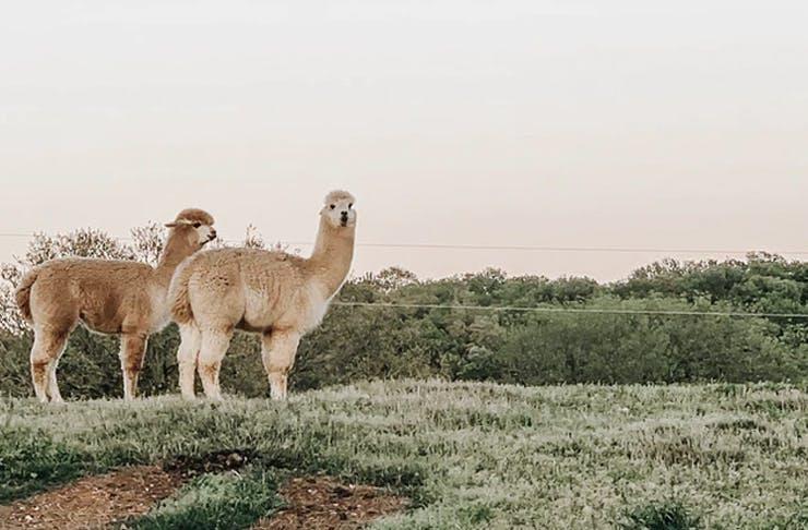 two alpacas in paddock