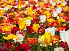 6 Epic Flower Festivals Around Sydney To Hit Up This Spring
