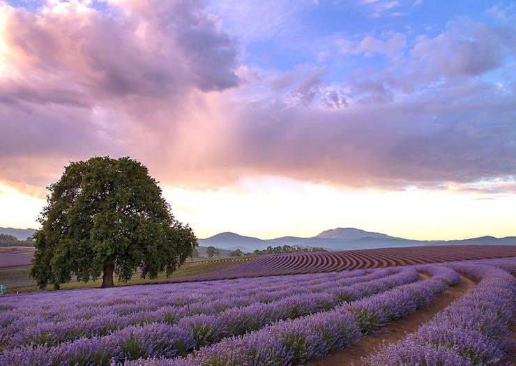 Up Your 'Gram Game At Australia's Biggest Lavender Farm