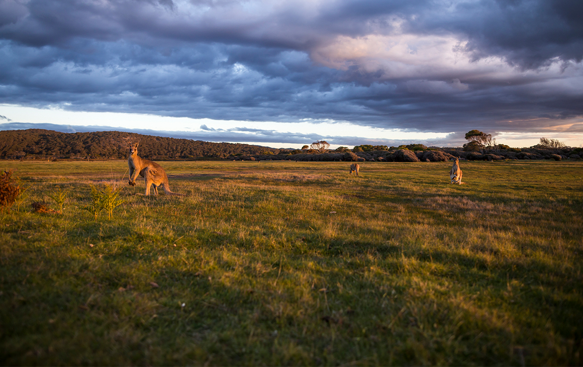 Kangaroos graze in a field of tall grass. A moody sky behind them.