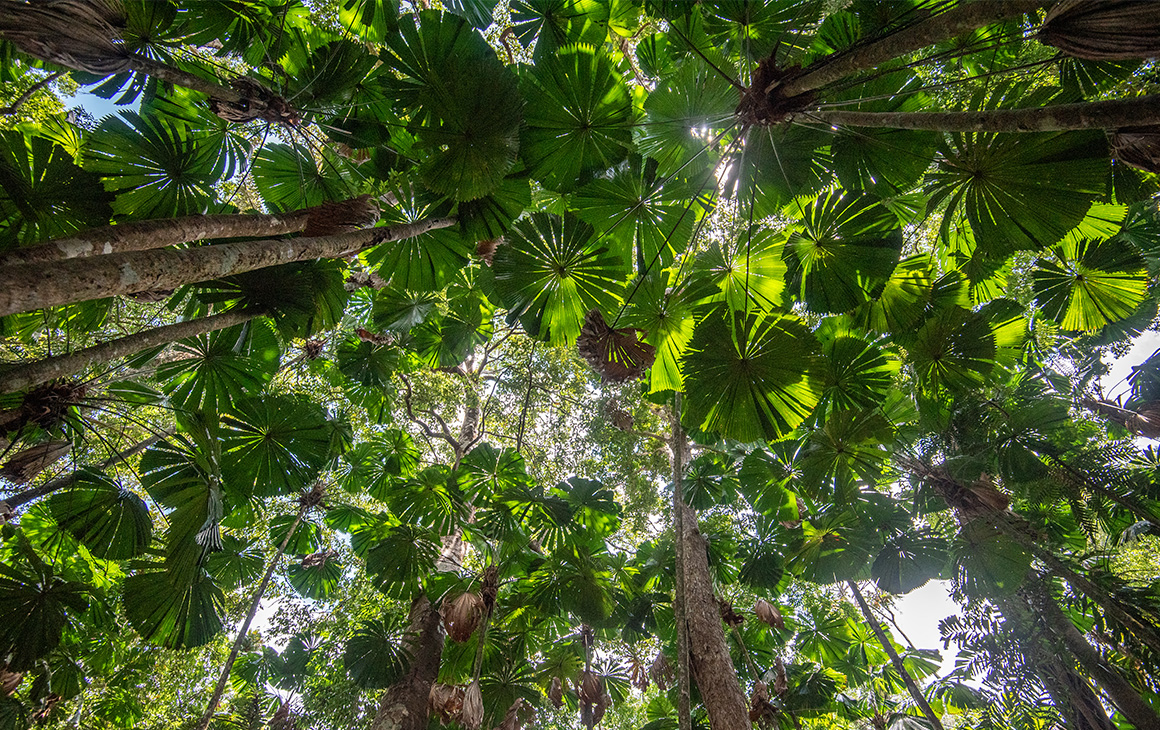 looking up at a lush green canopy of trees.