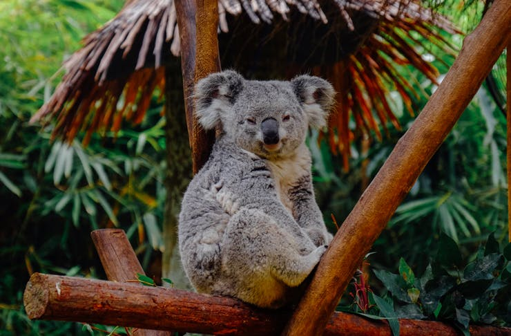 koala sitting in branches of tree