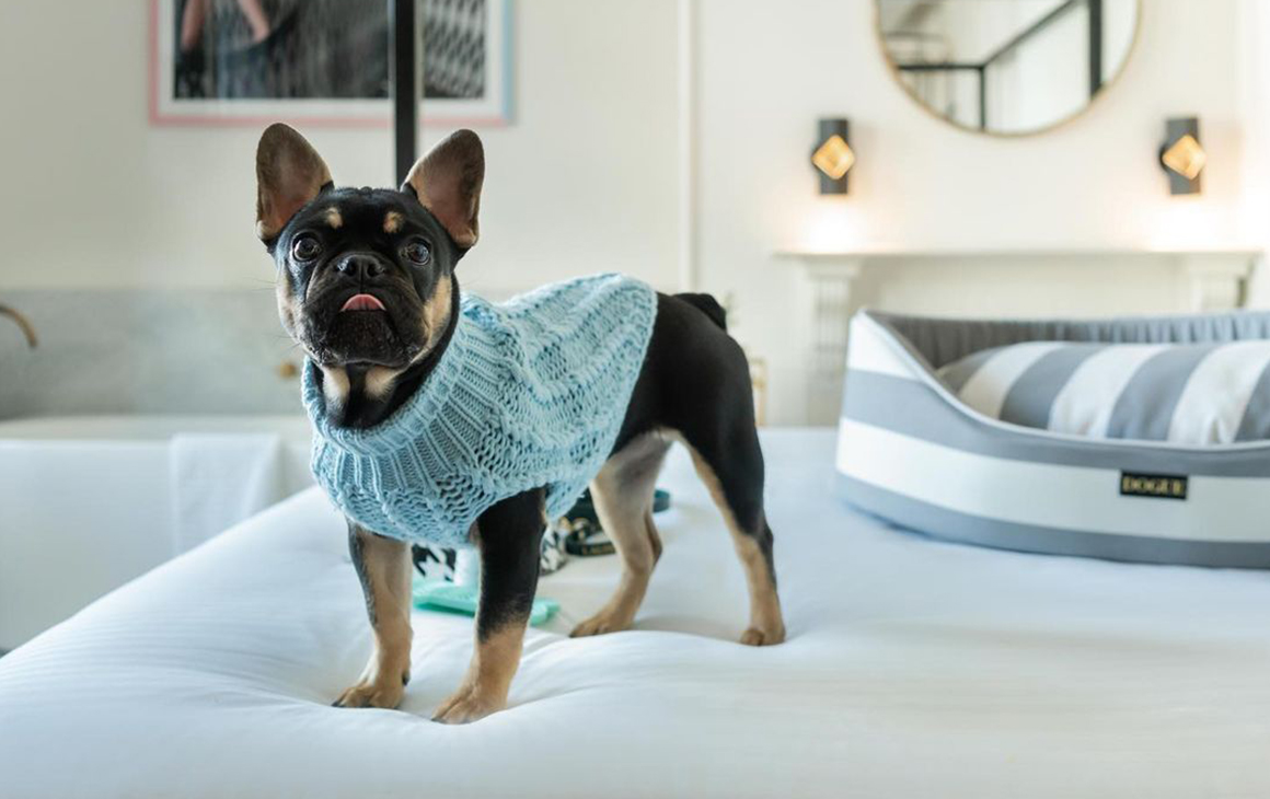 a small dog in a blue coat stand on a hotel bed