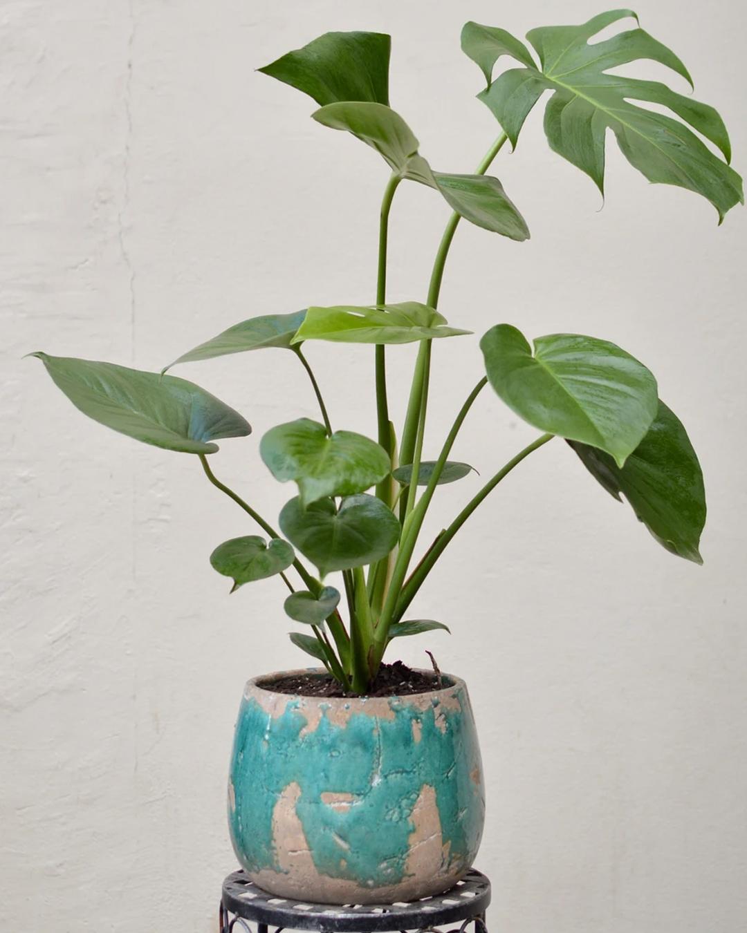 big plant on stool