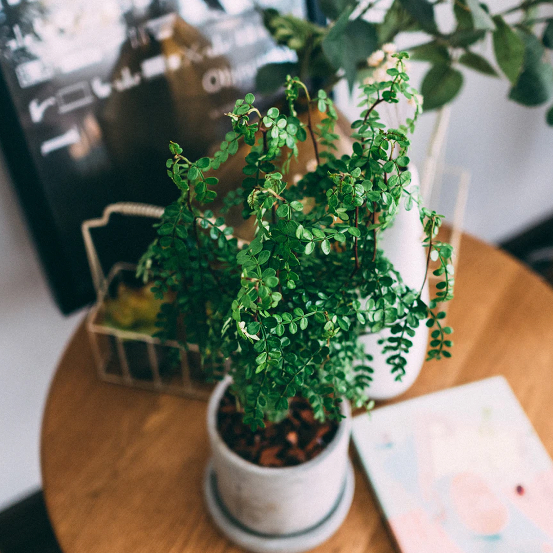 indoor plant in pot on round wooden table