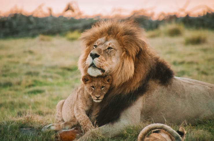 a lion and his cub embrace with a pink sunset in the background