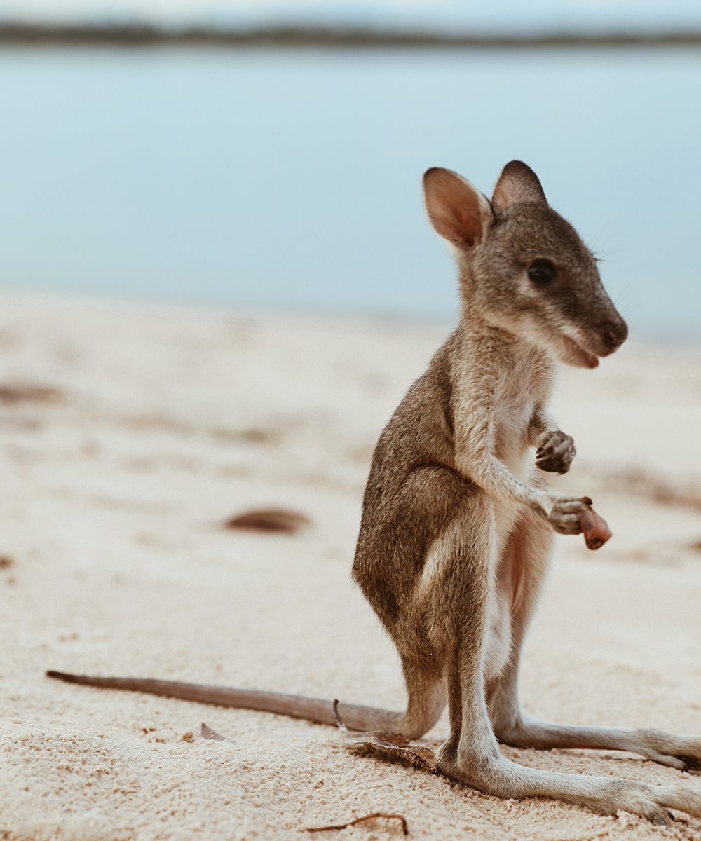 a baby wallaby sits on the white sand of a beach